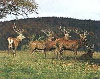 Hirschpark des Bayerischen Waldes in Bayern