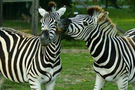 Zebra - Vogelpark Irgenöd