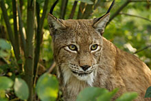 Wildpark mit einheimischen Tieren aus dem des Bayerischen Waldes
